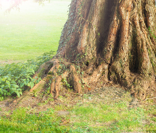 Big old roots