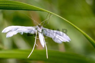schlehen geistchen Pterophorus pentadactyla