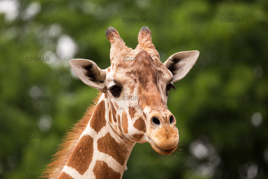 Portrait of Giraffe