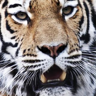 Sibirischer Tiger (Neofelis tigris altaica) / Siberian Tiger (Neofelis tigris altaica)