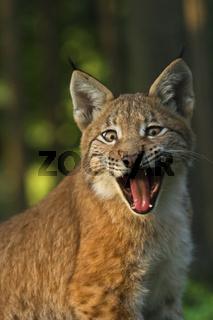 Gaehnender Europaeischer Luchs (Lynx lynx), Jungtier, Bayern, Deutschland, yawning European lynx, bavaria, germany