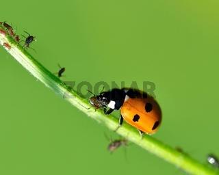 Marienkäfer verschlingt  Blattlaus