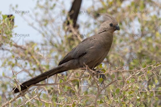 A white-bellied go-away bird in the Etosha National Park Namibia