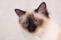 HEILIGE BIRMA KATZE, BIRMAKATZE, SACRED CAT OF BIRMA, BIRMAN CAT, ADULT, SEAL-POINT, PORTRAIT,