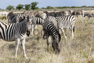 Herde Steppenzebras in Etosha Nationalpark, Namibia, Herd plains zebras, Etosha National Park, Namibia