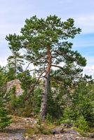 Pine against the sky.