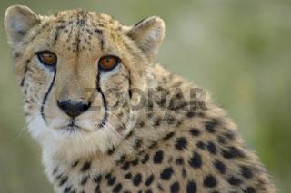 Gepard Acinonyx jubatus Cheetah