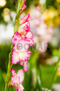 Light pink gladiolus flower, close-up