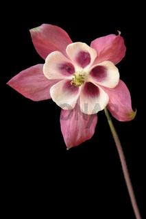 Akelei (Aquilegia vulgaris)