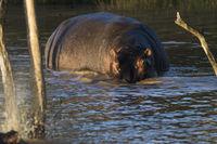 Nilpferd (Hippopotamus amphibius) iSimangaliso Wetland Park