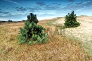 little pine trees on dune
