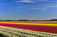 Anbau von Narzissen und Tulpen zur Produktion von Blumenzwiebeln, Noordwijkerhout, Niederlande