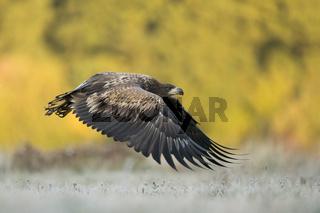 flach über den Boden... Seeadler *Haliaeetus albicilla*