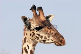 Giraffe close-up head