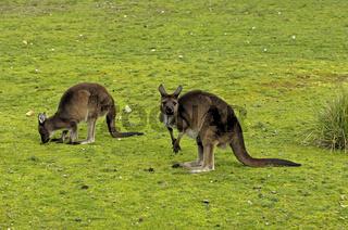 Kanngaroo Island Kangaroo, Macropus fulliginosus fulliginosus, Kanngaroo Island, Südaustralien