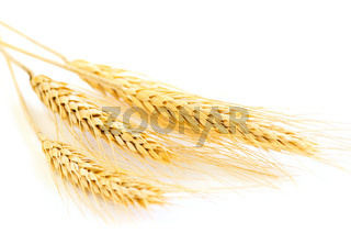 Isolated wheat ears