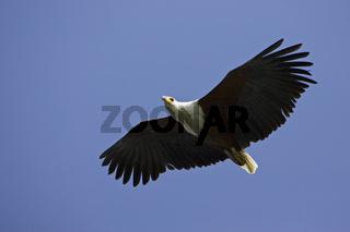 Schreiseeadler (Haliaeetus vocifer) im Flug ueber dem Okavango, Botswana, Afrika, African Fish Eagle at flight, Africa