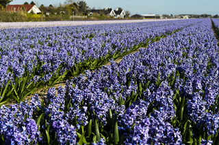 Anbaufläche mit blühenden blauen Hyazinthen, Bollenstreek, Süd-Holland, Niederlande