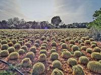 Field of small ornamental round cacti