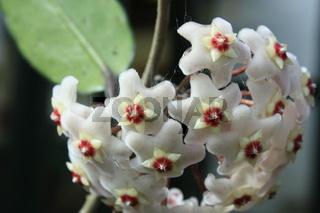 wachsblume
