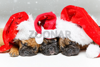 puppies sleeping in christmas hats