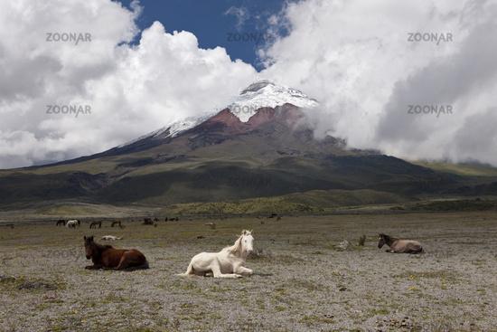Wilde Pferde vor dem Cotopaxi, Ecuador