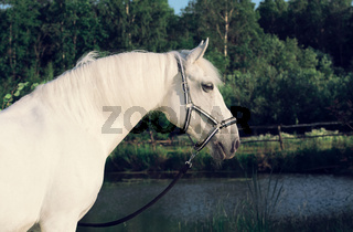 portrait of Lipizzaner horse at lake background
