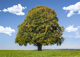 Buche als Einzelbaum im Herbst