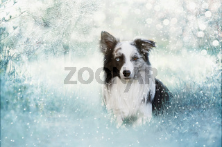 Border Collie in Winterlandschaft