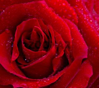 Beautiful red rose closeup.
