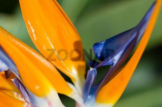 Macro of a Bird of Paradise flower