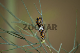 Schwalbenschwanz - Raupe, Papilio machaon, Common Yellow Swallowtail -  Caterpillar
