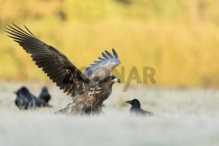 Drohgebärde... Seeadler *Haliaeetus albicilla* versucht nach seiner Landung Kolkraben zu verscheuchn