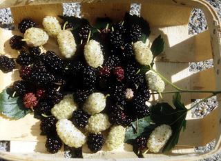 Morus alba + nigra, Maulbeeren, mulberries
