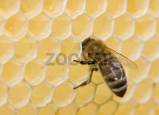Honigbiene an einer Bienenwabe