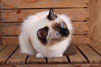 HEILIGE BIRMA KATZE, BIRMAKATZE, SACRED CAT OF BIRMA, BIRMAN CAT, ADULT, SEAL-POINT,