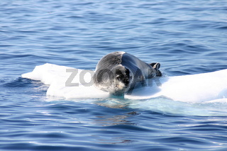 Leopard seal on ice floe in Antartica