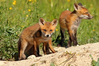 curious red fox cub looking at the camera (Vulpes