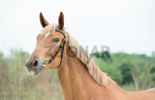 portrait of sportive chestnut  mare. summer