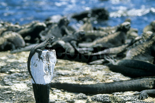 Lavaechse und Meerechsen