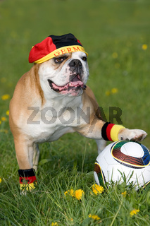 Bulldogge als Fussballfan