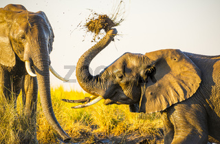 Elephants Playing In Mud