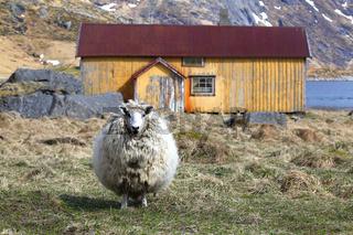 Schaf vor altem Haus