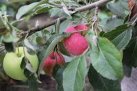 Red and green ripe apples on branch 20506