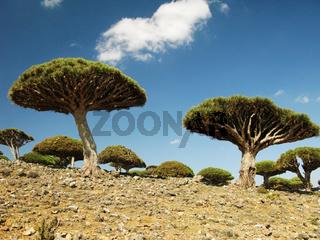 Dragon tree forest, Socotra island, Yemen