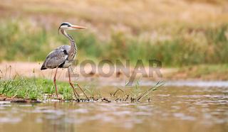 Fischreiher am Wasser, Kruger Nationalpark, grey heron, Ardea cinerea, Südafrika