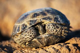 Steppe tortoise in shell