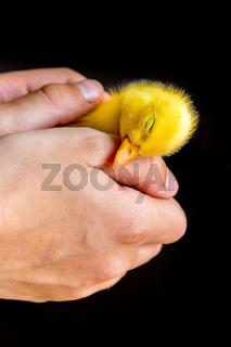 Sleeping newborn duckling in human hands