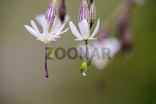 Silene Flowers with Morning Dew