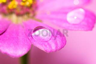 close-up petals of flower with water drop, macro (shallow DOF)
